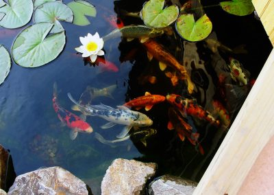 koi pond pets create a relaxing environment